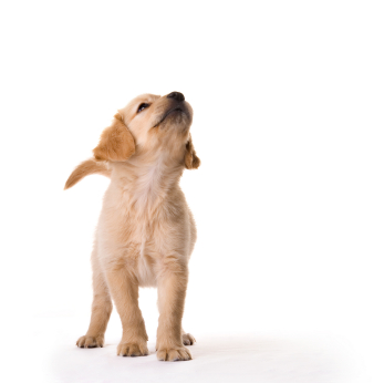 Dog looking up against white background