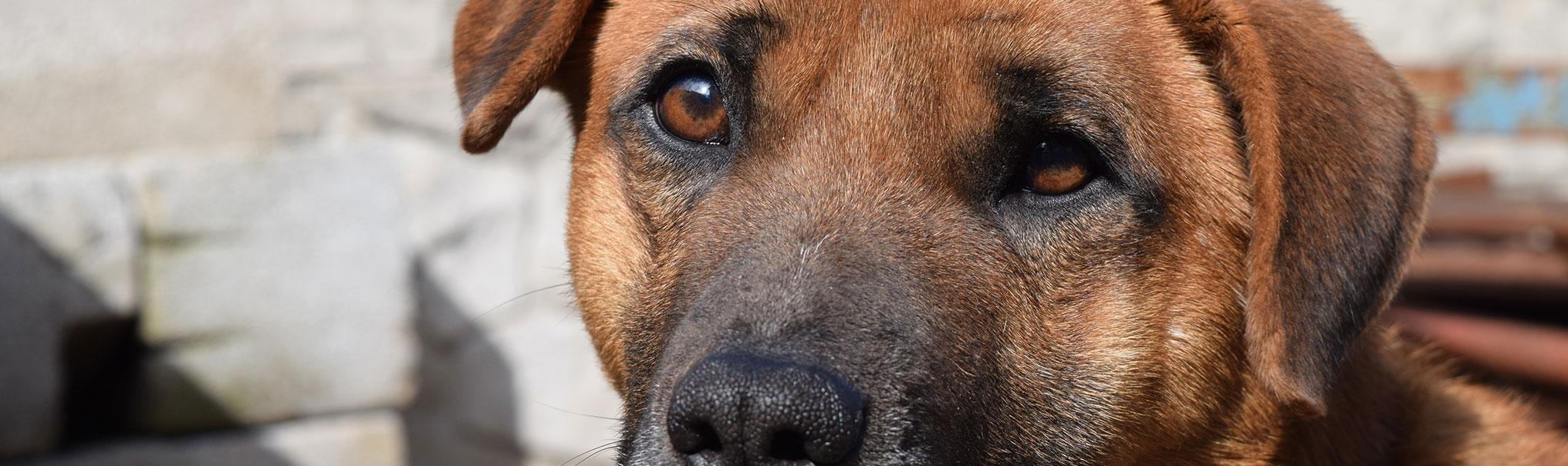 Small Breed Dogs With The Least Health Problems