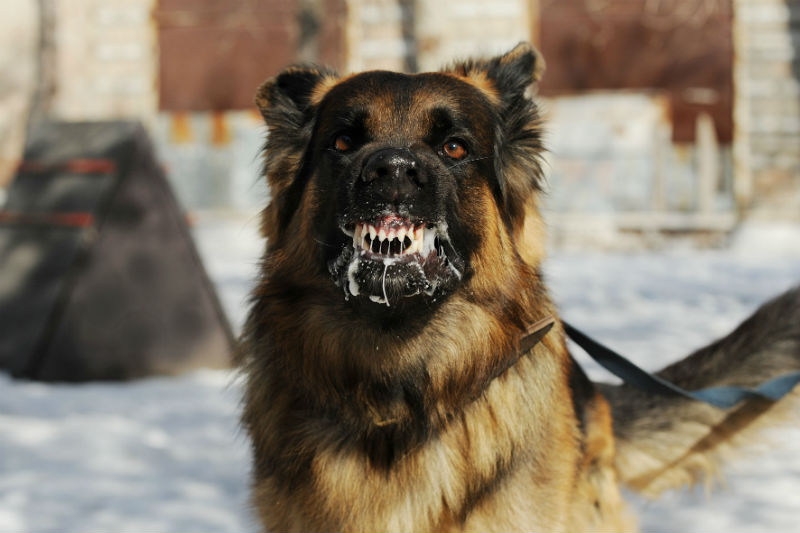 Dog with rabies foaming