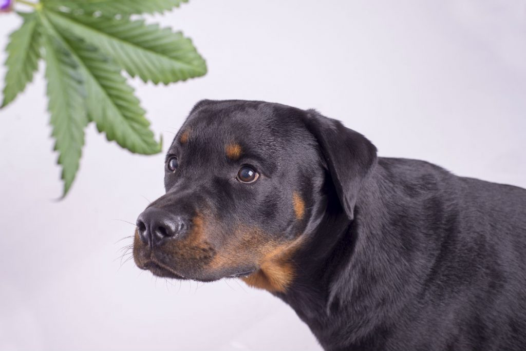 cannabis dog