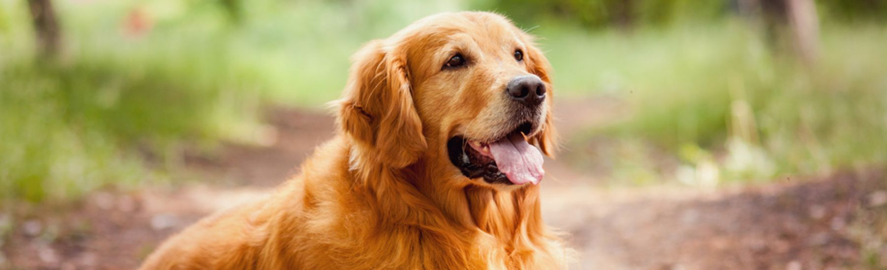 Golden Retriever dog outdoors