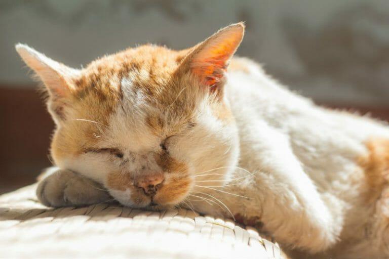 Senior cat sleeping indoors