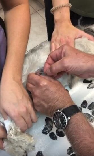 Veterinarian removing cuterebra larva from a dog
