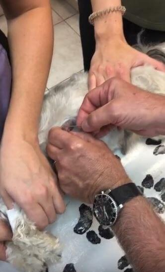 Veterinarian removing cuterebra larva from a dog